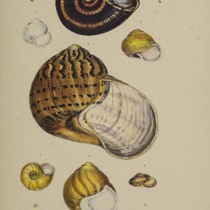 A monograph of Australian land shells