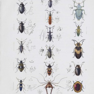 A description of several new species of Insects collected in New Holland by Robert Brown