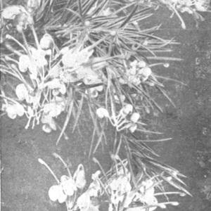 NindsupGrevillea rosamarinifolia.jpg