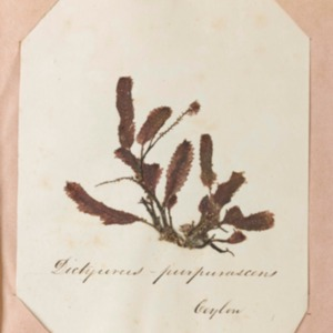 Algae from Ceylon, Friendly Islands and Australia : collected during the years 1852, '53, '54 and '55