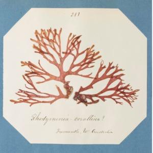 harvey1858algaespecimens-270.pdf