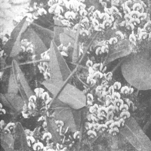 NindsupHardenbergia monophylla.jpg