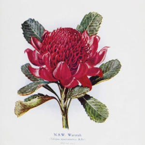 The Australian flora in applied art : Part I. The waratah