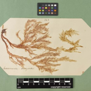 harvey1858algaespecimens-150.jpg