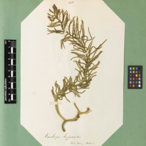 harvey1858algaespecimens-324.pdf