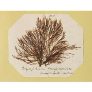 harvey1858algaespecimens-168.pdf