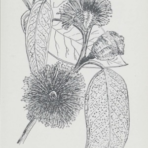First studies in plant life in Australasia : with numerous questions, directions for outdoor work, and drawing and composition exercises
