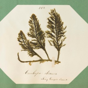 harvey1858algaespecimens-325.pdf