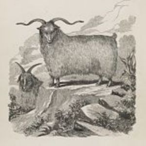 The Angora goat : with an account of its introduction into Victoria, and a report on the flock belonging to the Zoological and Acclimatisation Society of Victoria, now running at Longerenong, in the Wimmera district