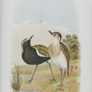 broinowski1890birds1australia0413.jpg