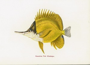 james1905hawaiianfishes0009.jpg